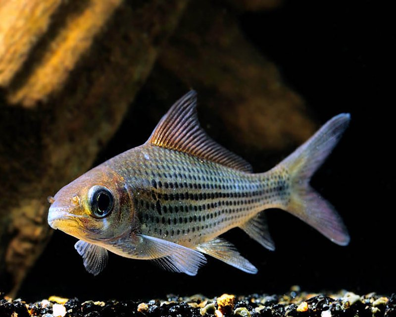 warna ikan nilam.jpg