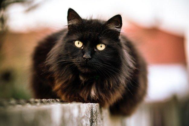 Bulu kucing hitam