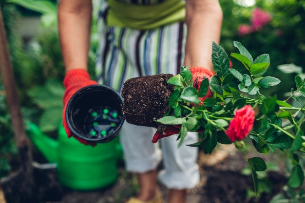 pemupukan bunga mawar