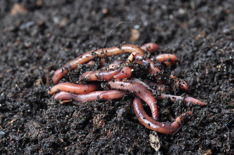 worm-castings.jpg